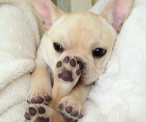 dog and french bulldog image