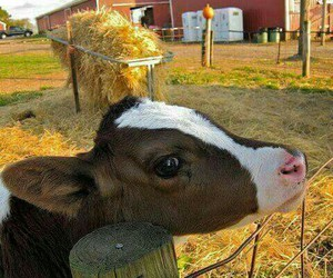calf, cow, and cute image