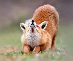 fox and キツネ image