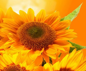 nature, sunflowers, and wallpaper image