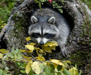 animals and racoon image