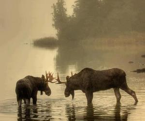 animal, moose, and photography image