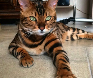 cat, animal, and tiger image