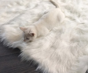 animals, cat, and white cat image