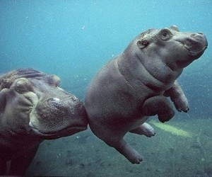 hippo, animal, and baby image