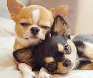 dog, puppy, and chihuahua image