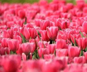 tulipes image