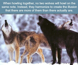 wolves and facts image