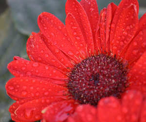 close up, red flower, and daisy image