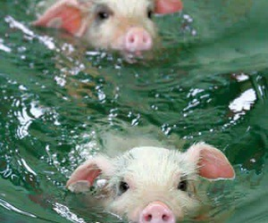 pig, sweet, and water image