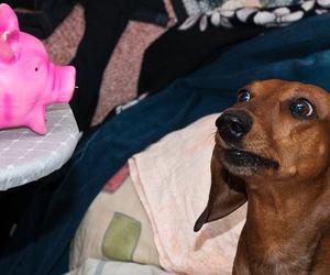 dachshund, teckel, and такса image