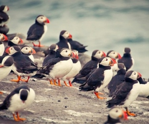 animal, bird, and puffin image