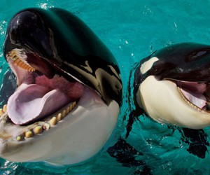 orca, animal, and black and white image