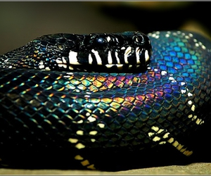 rainbow, snake, and boelens python image