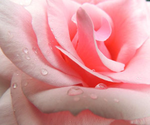 close up, pink rose, and flower image