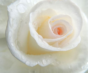 close up, flower, and white rose image