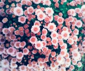 flower, pink, and Virag image