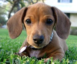 dachshund and dream dog image