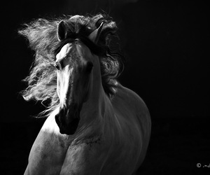 b&w, horse, and photography image