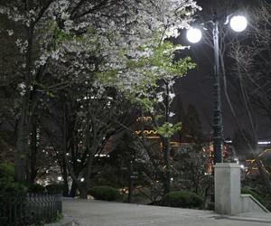 cherry blossoms, lights, and south korea image