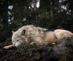 wolf, animal, and sleep image