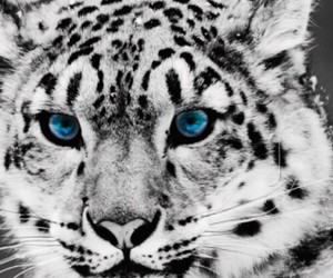 animal, blueeyes, and arcticleopard image