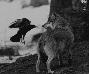 bird, black and white, and wolf image