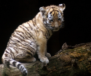 baby tiger, cub, and tiger image