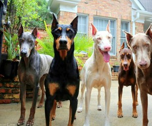 doberman and dog image