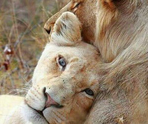 lion, cute, and love image
