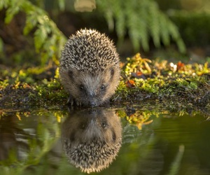 animal, hedgehog, and reflection image