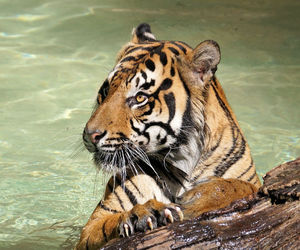 animal, big cat, and california image