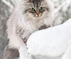 animal, cat, and cold image