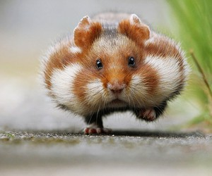 cute, hamster, and pretty image