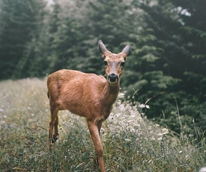 animal, deer, and forest image