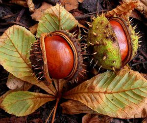 autumn, chestnut, and leaves image