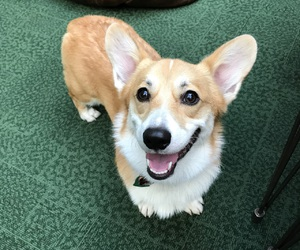 corgi, dog, and puppy image
