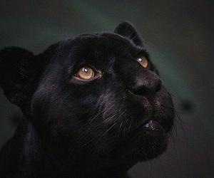 animal, black, and wild image
