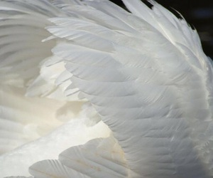 wings, white, and feather image