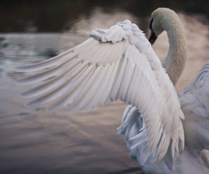 Swan and animal image