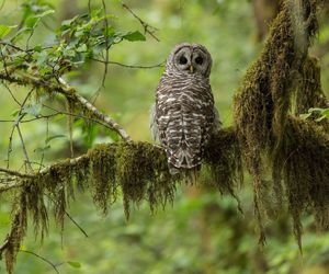 owl and barred owl image
