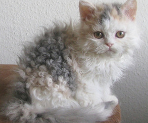 cat, curly, and cute image