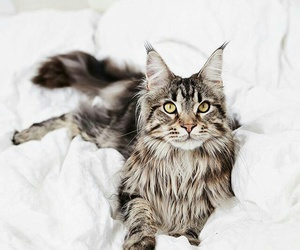 cat and main coon image
