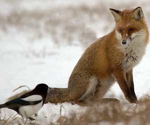 fox, snow, and bird image