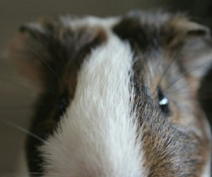 animal, guinea pig, and mignon image