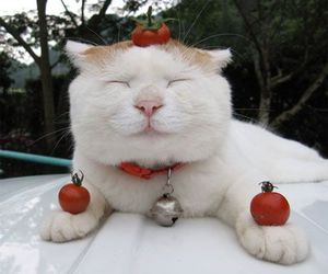 cat and tomato image