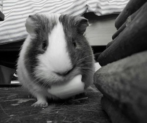 eat, guinea pig, and mignon image