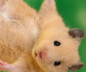 animals, background, and hamster image