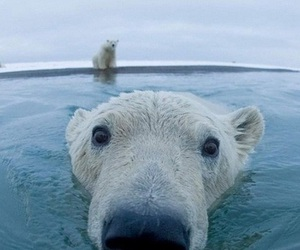bear, Polar Bear, and animal image
