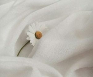 daisy and white image